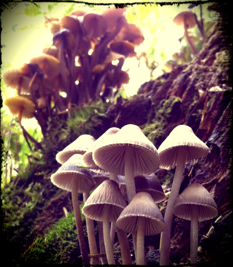 Fairy Toadstools
