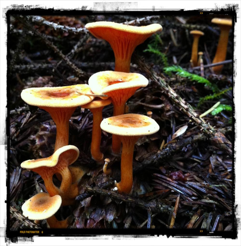 Saucer shrooms